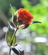 斑入り八重咲きマツモトセンノウ