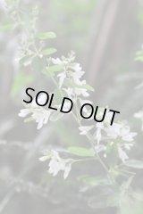 白花ミヤギノハギ 二季咲き